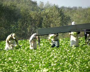 harvesting Romaine lettuce