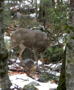 Mule deer buck in antlers