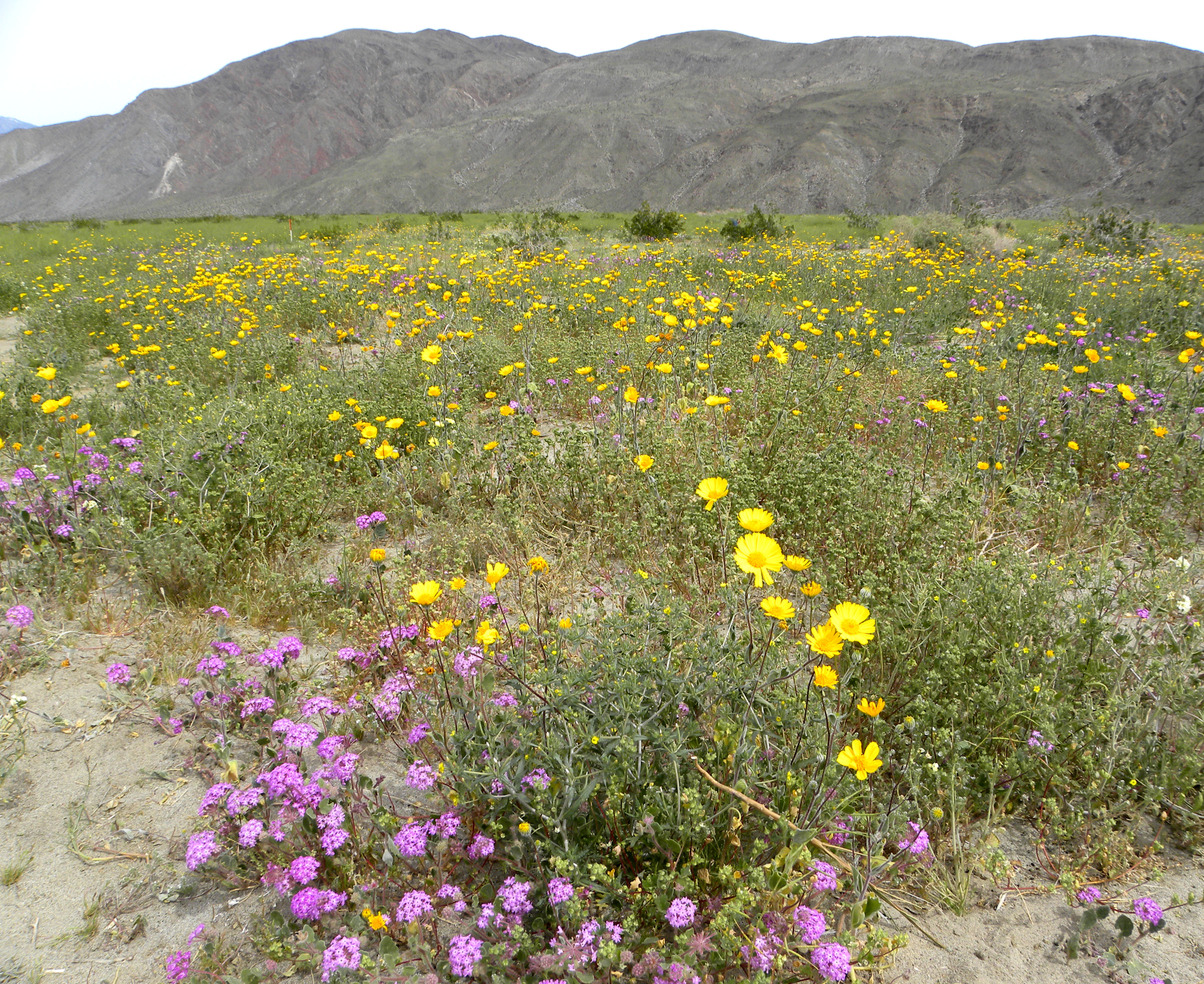 Spring Wildflowers At California S Anza Borrego State Park