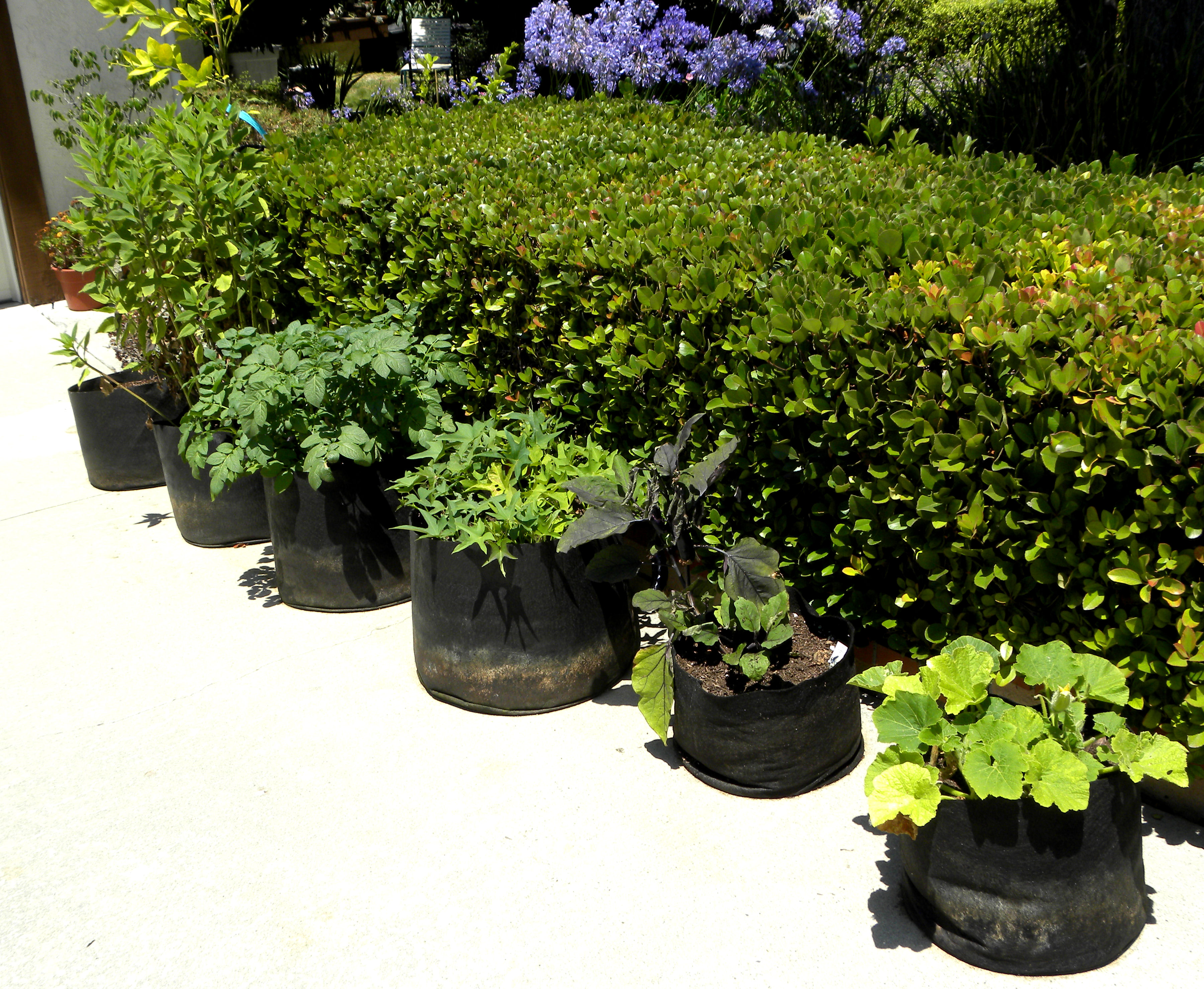 Green Smart Pots Growing in Smart Pots