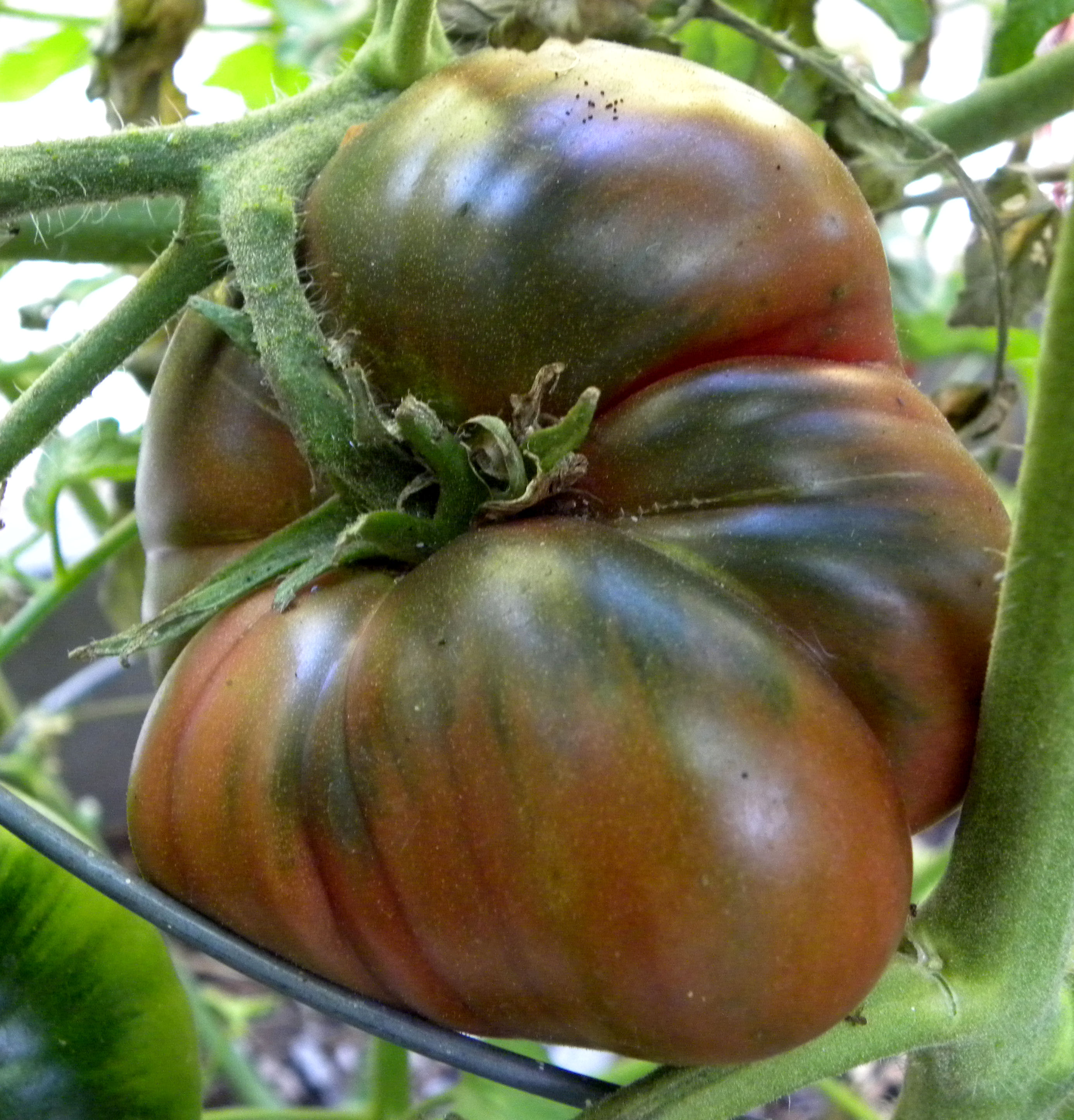 1000 Images About Tomatoes On Pinterest Gardens Tomato 400 x 300