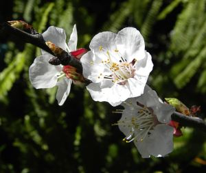 Our Katy apricot tree had very few blossoms this year, so I'm not anticipating much of a crop. Actually, the birds and night critters usually get all the apricots anyway.