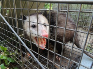 I think this fellow is possum #15 that we've live trapped this year. We relocate them away from our garden and chickens.