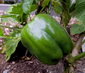 We had such a hot fall here that bell peppers continued to set fruit. Here is a December pepper nearing readiness for picking.