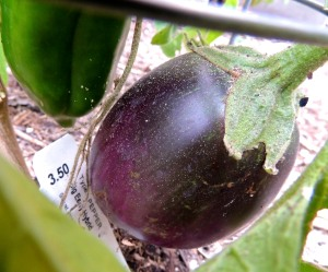It looks like we're going to get a small Black Beauty eggplant soon as well.