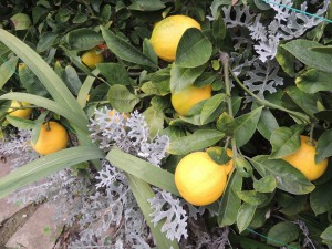 Our Meyer lemon tree is producing like gang busters right now.