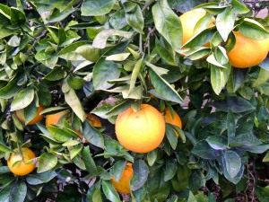 Winter is citrus season in our southern California garden. The navel orange tree is loaded with oranges that ripened a month early this year.