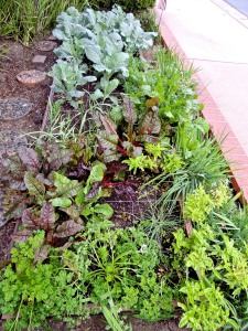 Raised bed in our front yard has parsley, chives, basil, beets, carrots, chard, broccoli, cauliflower, cabbage, and four varieties of garlic.