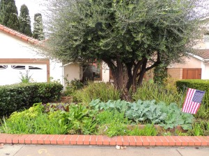 View from the street, looking at our house and my raised beds under the olive tree.