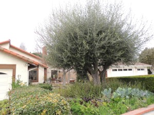 "We decided to keep the olive tree. By ""we"" I mean my husband. So I had it trimmed this week. This is the before photo."