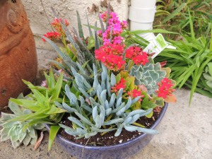 As part of my birthday celebration, I dressed up our front walkway with a new arrangement of succulents.