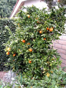 The navel orange tree set quite a crop last year, and the fruit is ripe for the taking. Ditto the Meyer lemon and lime trees.