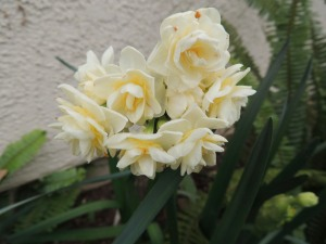 Oh look, it's spring already. My paperwhite narcissus are nearing the end of their bloom, while these double narcissus are at peak. My daffodils are just now poking up out of the ground.