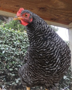Peep and Cheep will be six months old next week. Their combs and wattles have turned red. Can eggs be far off?