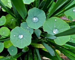 A light rain turns nasturtium leaves into saucers.