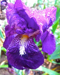 Our old-fashioned purple iris seem to bloom randomly. My fancy bearded iris only bloom in real spring, not this crazy January spring.