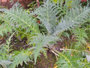 No flower buds yet on my artichokes, but I keep checking. The plants are looking good.