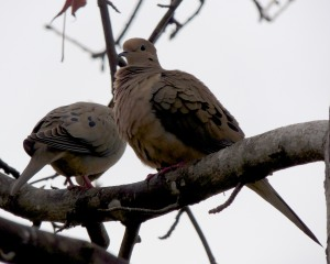 A pair of mourning doves rest in our liquid amber tree on a gray and misty morning.