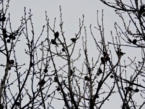 House sparrows and house finches crowd into the tree in between bouts of feeding at our seed feeders.