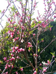 The Panamint nectarine and Katy apricot are loaded with blossoms this year. Surely we will be able to salvage some of the fruit from the possums, raccoons, and other raiders of night.