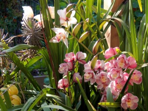 We have had orchids in bloom on the back deck and patio since January. The second batch of blooms is just now opening up.