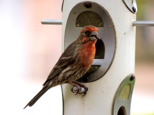 Male house finch at feeder.