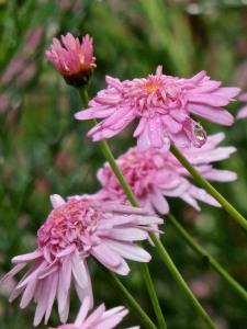 Pink cobbity daisies