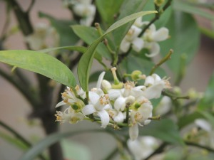 The Valencia orange tree is loaded with blossoms and it smells so good.