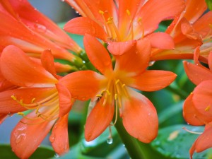 Clivia or Kaffir lillies