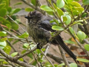 A bushtit after bathing in the pond. A pair has been collecting nesting material from our yard this week.
