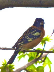 A male black-headed grosbeak stopped by on his migration north to fill up on sunflower seeds.