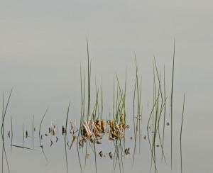 Reeds in the lake