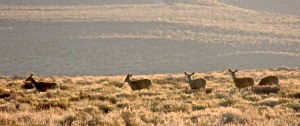These are a few of the three dozen mule deer that we saw.
