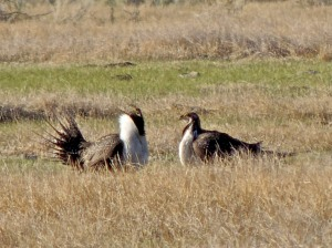 Greater Sage Grouse males displaying.