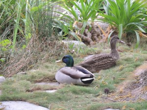A pair of mallards visits our pond every spring.