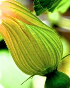 Female blossom for a winter squash