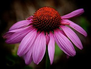 Echinacea, aka coneflower