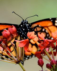 Monarch butterfly on bloodflower milkweed