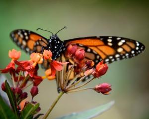 Monarch butterfly on bloodflower milkweed