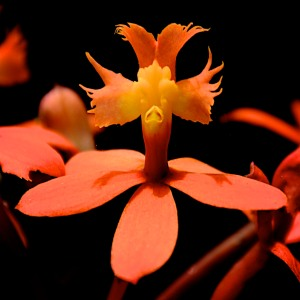 Tiny orange orchid with a space alien face