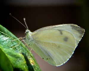Cabbage butterfly, an undesirable alien