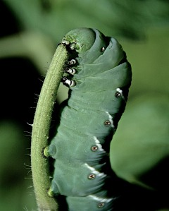 I would love this shot more if it were of a monarch butterfly caterpillar, and not a blasted tomato hornworm!
