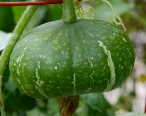 mystery winter squash