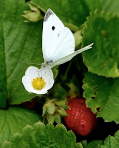Cabbage butterfly nectaring on a strawberry flower