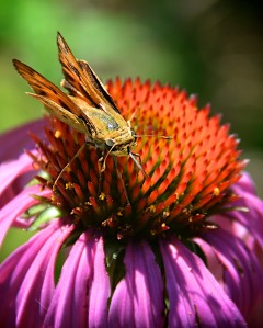 Fiery Skipper on coneflower