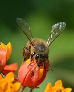 Honeybee nectaring from a bloodflower milkweed
