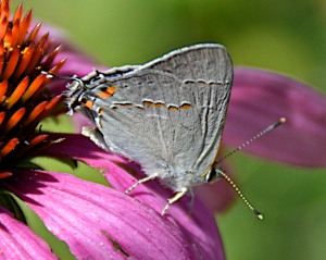 I think this is some type of hairstreak butterfly.