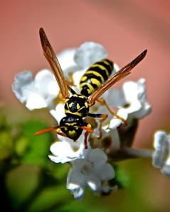 Paper Wasp on lantana