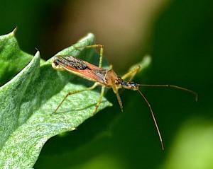 Assassin bug, a beneficial bug in the garden