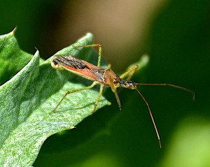 Assassin bug, a beneficial bug in the garden